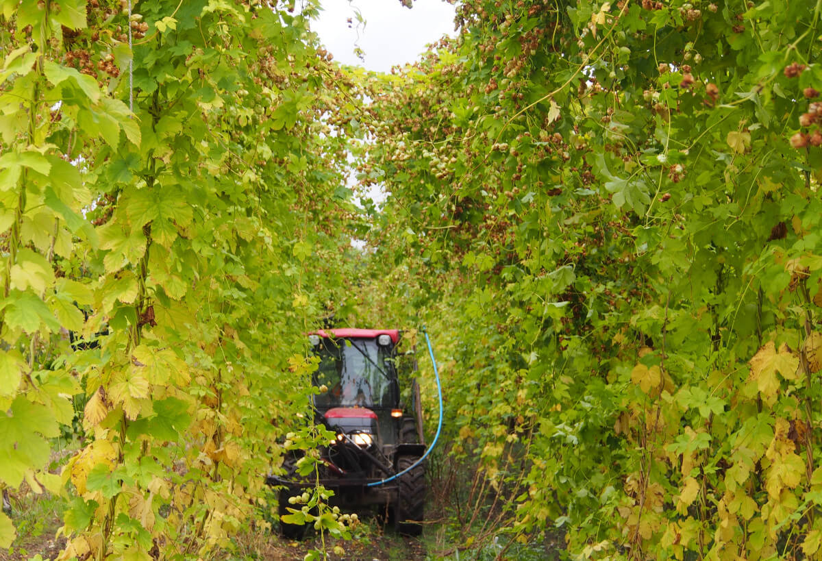 Hogs Back looking forward to its hop harvest
